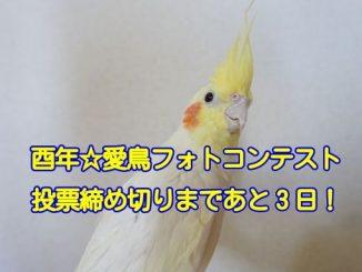 酉年☆愛鳥フォトコンテストのオカメインコ