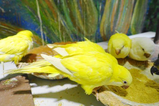 鳥のいるカフェのオキナインコ・ルチノーとアルビノ