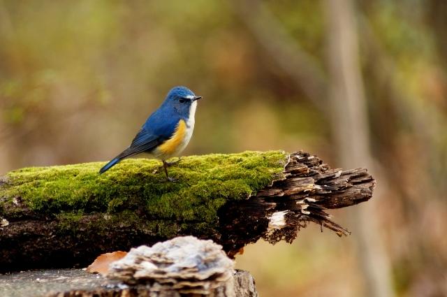 青い鳥の野生のルリビタキ
