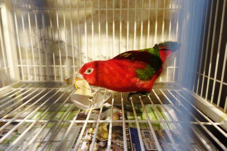鳥のいるカフェ六本木店の看板鳥・ショウジョウインコのリンゴちゃん