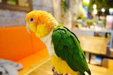 鳥のいるカフェシロハラインコのまりもちゃん