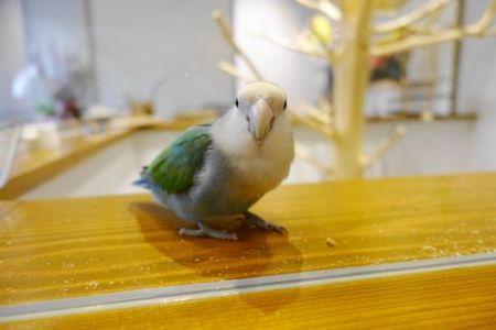 インコカフェ「LoveBird Cafe CHERRY」のコザクラインコ・葵ちゃん