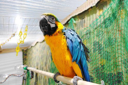 千葉の鳥カフェ「KOTORIYA」のルリコンゴウインコ