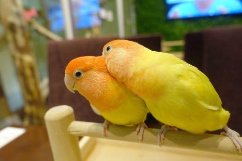 関西・大阪心斎橋の鳥カフェ「The Step up OSAKA」のコザクラインコがカキカキ
