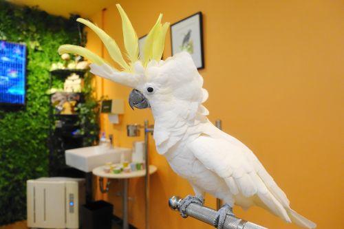 関西・大阪心斎橋の鳥カフェ「The Step up OSAKA」のキバタンの冠羽を広げた様子