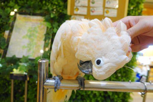 関西・大阪心斎橋の鳥カフェ「ザステップアップ大阪」のオオバタン