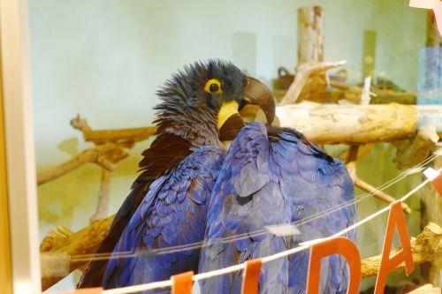 関西・大阪心斎橋の鳥カフェ「The Step up OSAKA」の目玉ヒアシンスマコウのペアのふれあい