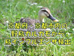京都府・京都市の野鳥カルガモから鳥インフルエンザが検出
