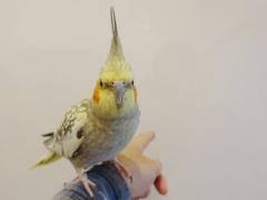 オカメインコのレモンちゃんはことりカフェ上野の触れ合い担当の鳥スタッフ