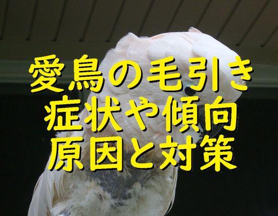 愛鳥(インコ・オウム・フィンチ)の毛引き症の症状や傾向、原因と対策
