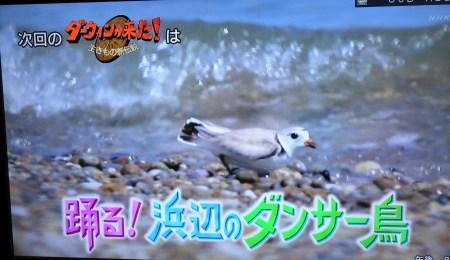 2018年10月28日のダーウィンが来た!は、フエコチドリ特集「踊る!浜辺のダンサー鳥」
