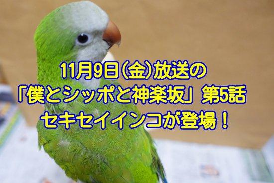 11月9日放送の「僕とシッポと神楽坂」第五話でセキセイインコが登場