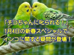 NHK・チコちゃん叱られる!1月4日の新春スペシャルは、インコにまつわる疑問が登場