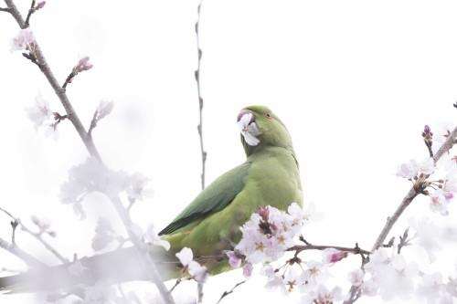 東京の井の頭公園で野生化したワカケホンセイインコが桜の花を食べているところを目撃