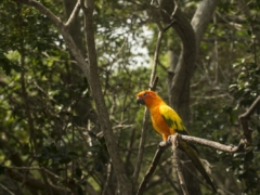 ジャングルで暮らすコガネメキシコインコ(南米アマゾンの大火災が発生!災害によるインコなどの動物への影響は?)