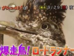 2019年9月29日(日)のダーウィンが来たは「爆走鳥!ロードランナー」でオオミチバシリ特集