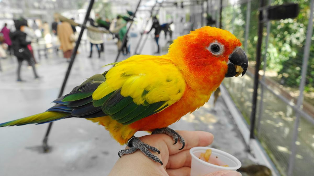 インコの味覚はどれぐらいグルメ?掛川花鳥園のコガネメキシコインコがおやつを食べている様子