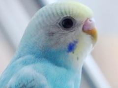 インコの視覚・色覚は人間などの哺乳類よりも優れている。人間が見えない紫外線などの色も見えている