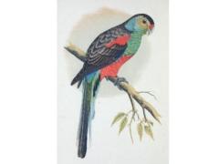 絶滅したオーストラリアに生息していたインコ「ゴクラクインコ」のイラスト