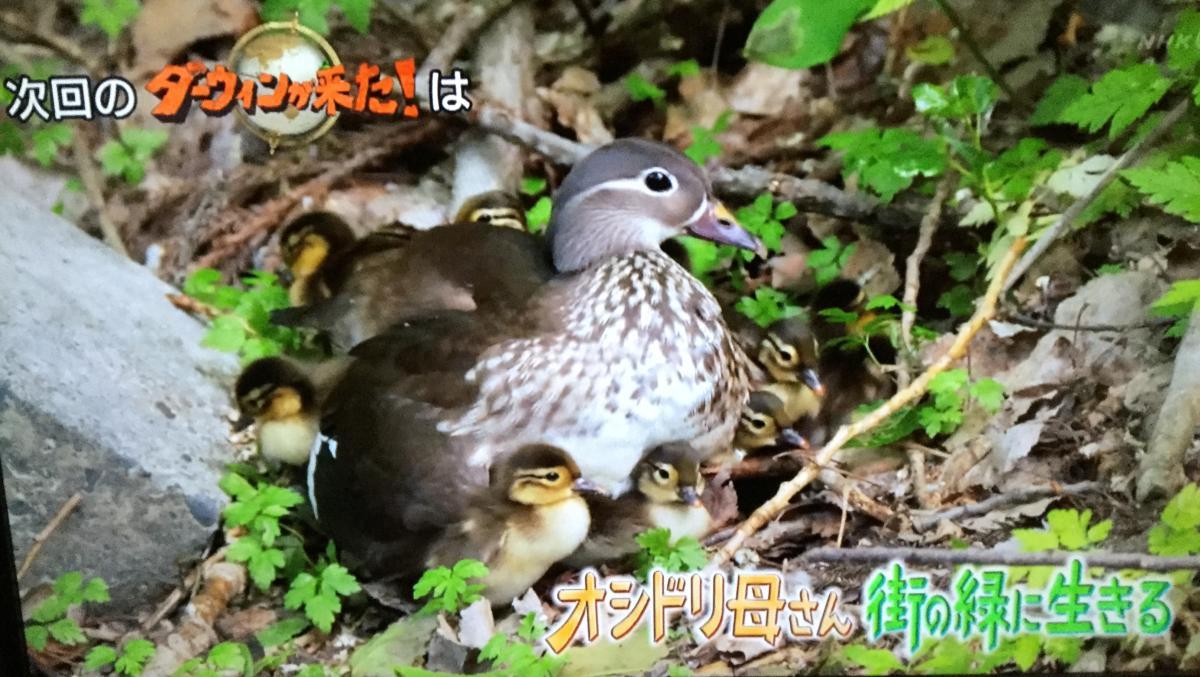 2020年1月26日放送のNHK総合「ダーウィンが来た」はオシドリの子育て特集~沢山のヒナを都会で育児
