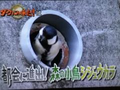 3月15日放送のダーウィンが来たのシジュウカラ特集の予告、排水管を巣にする四十雀