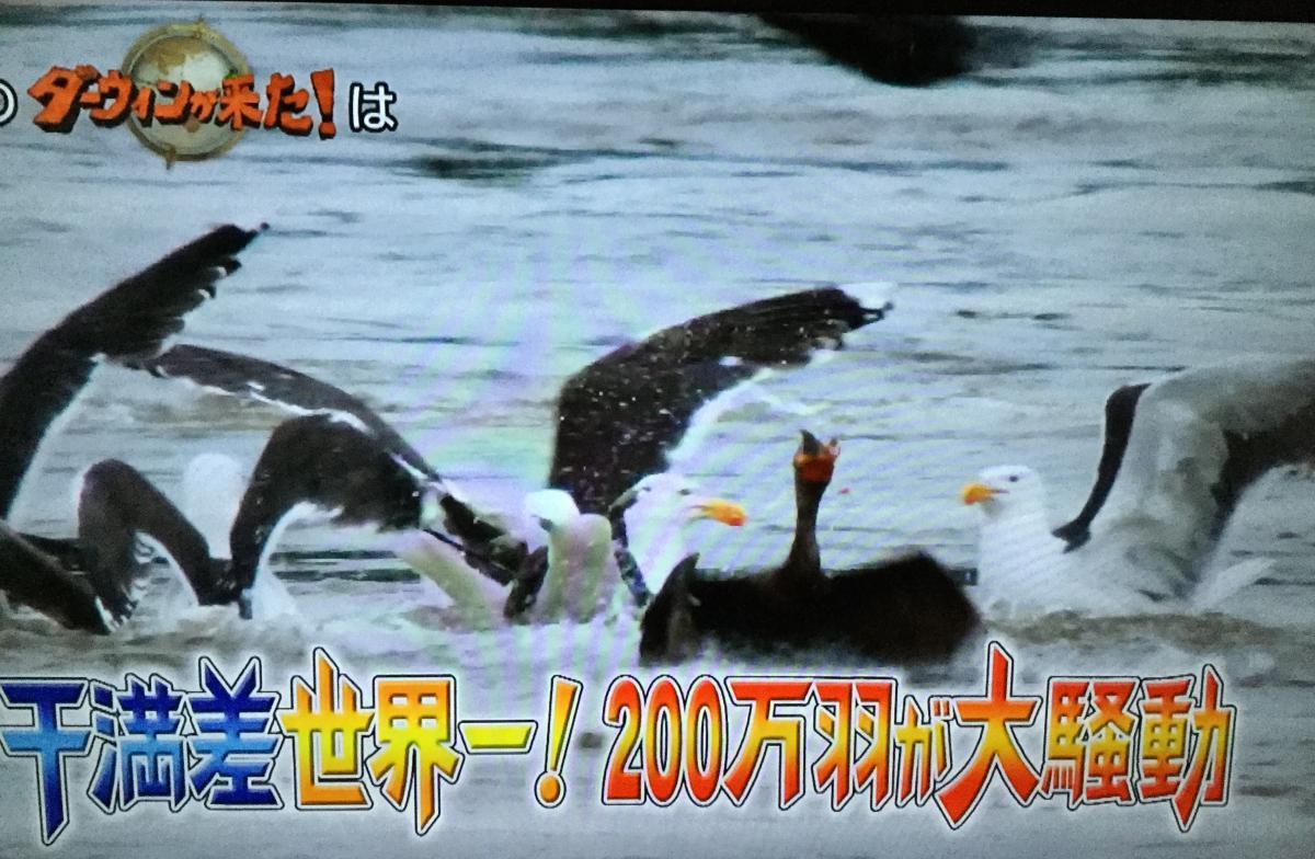 3月15日放送のダーウィンが来たのヒレアシトウネン特集の予告、フェンディ湾に大量に渡り鳥として飛来している