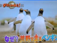 2020年4月19日のダーウィンが来たはジェンツーペンギン特集!「なぜ?荒野を走るペンギン」
