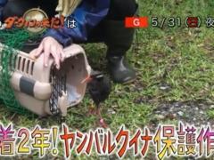 5月31日のダーウィンが来たはヤンバルクイナの保護活動に密着!人工飼育したヤンバルクイナの野生下で初の子育て成功