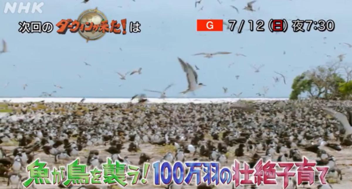 7月12日のダーウィンが来たはセグロアジサシ特集「魚が鳥を襲う!100万羽の壮絶子育て」100万羽を超えるセグロアジサシが群れで集まっている様子