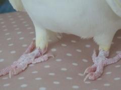 オカメインコの足指(趾)は第2趾・第3趾が前、第1趾・第4趾が後ろの対趾足