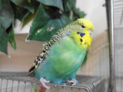 インコはしゃっくりをしない?鳥類には横隔膜がない(セキセイインコの写真)