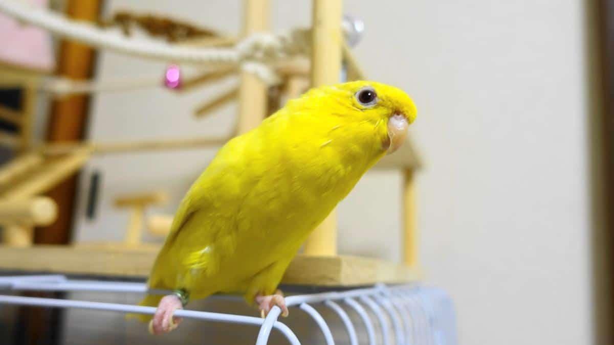 サザナミインコ・ルチノーの放鳥中の写真