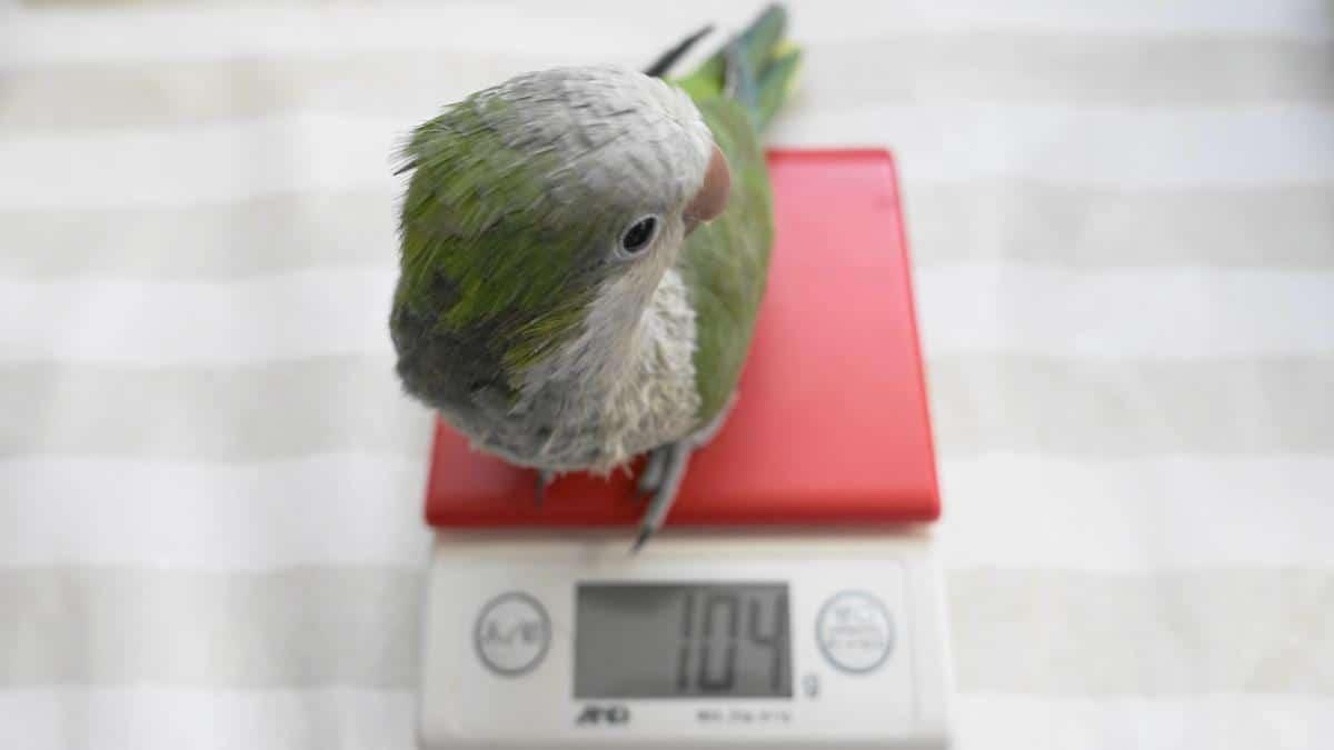 体重測定をするオキナインコ・ノーマルグリーン(体調管理に体重測定は大切)