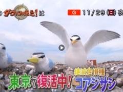 ダーウィンが来た!でコアジサシを東京で繁殖できるように復活させるプロジェクト
