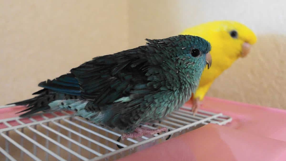 換羽期で羽の生え変わりで筆毛が増えているサザナミインコ・ターコイズ