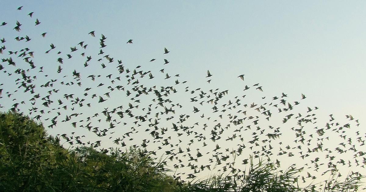 空に飛び立つムクドリの大群