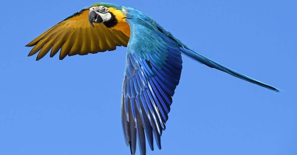インコのフリーフライトは健康的なメリットの反面、ロスト・迷子の危険性が高いため、要注意